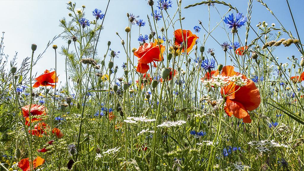 Blühwiesen