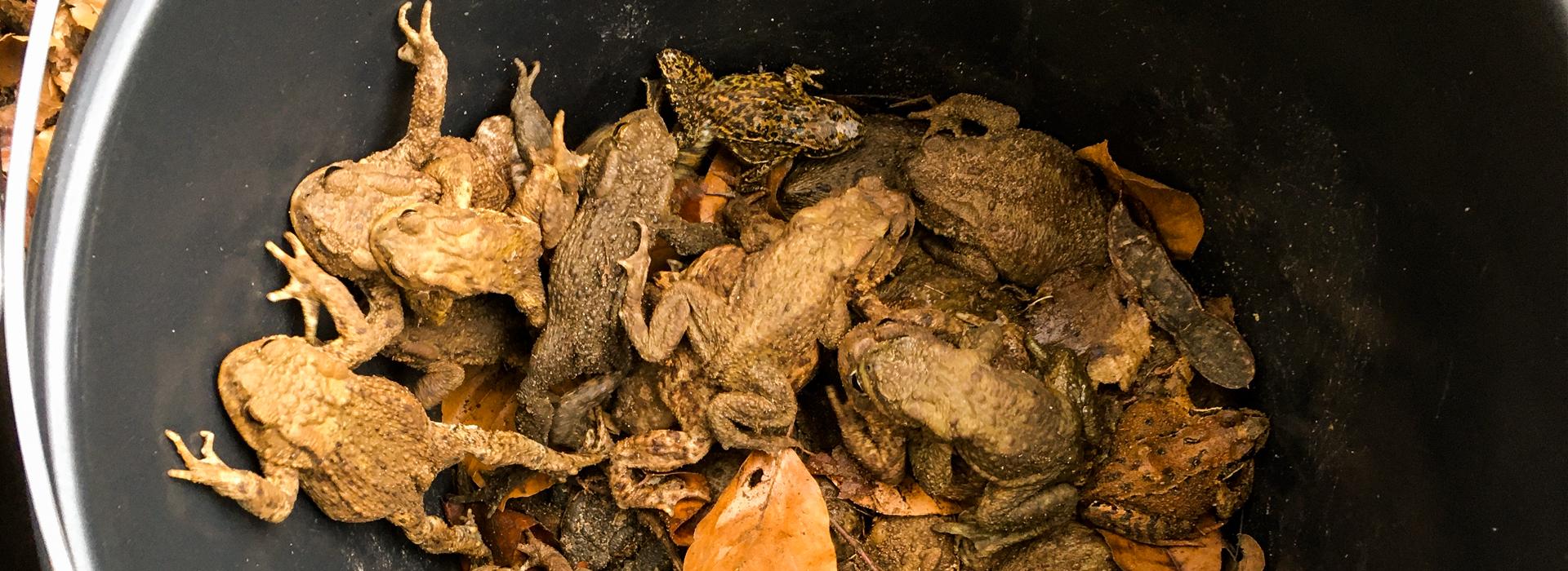 gesammelte Amphibien