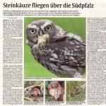 Steinkauze fliegen über die Südpfalz <br>(DIE RHEINPFALZ vom 11.05.2020)